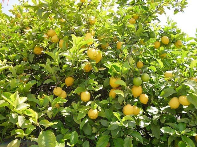 Gemeinsame Zitronenbaum richtig pflegen und schneiden - Pflegeanleitung @VM_86