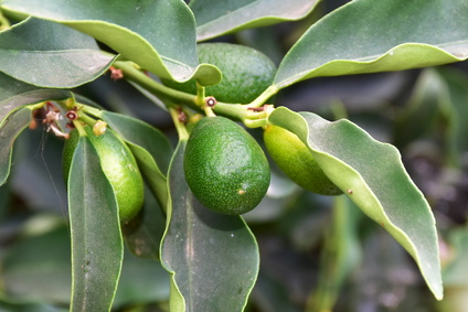 Kumquatbaum